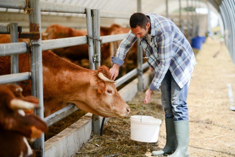 man feeding his cow